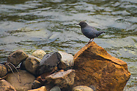 The uncommon and coldwater-loving American dipper is a secretive dark bird often found perched on exposed rocks in fast-moving mountain streaks and rivers. I've personally seen them in Colorado in the summertime, the Pacific Northwest in the springtime and even in Banff National Park in the middle of January with temperatures around -20°F! What's particular about this strange little songbird is that it can actually  walk underwater, thanks to its incredibly strong toes and feet. This was one actively dipping its head under the water catching small aquatic insects on the edge of the Cle Elum River in Washington State on a very chilly fall morning.