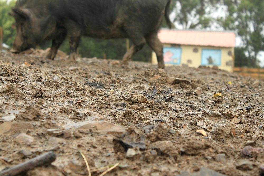 Black Sheep Farmed Animal Sanctuary, near Wellington, New Zealand. The pigs enjoy the opportunity to wallow in mud