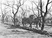 """9904-A167. """"Plowman at his labors""""  Prune orchard in Clark County, Washington state. Photographed by the Oregonian and published 28 April 1929"""
