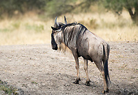 Wildebeest, Connochaetes taurinus, in Tarangire National Park, Tanzania