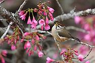 Taiwan yuhina, Yuhina brunneiceps, among cherry blossoms. Also known as Formosan yuhina. Endemic. Alishan National Scenic Area, Taiwan