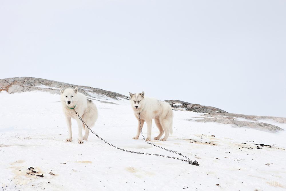 Greenlands sledgedogs in the village, Kulusuk, Greenland - Grænlenskir sleðahundar í Kulusuk á Grænlandi