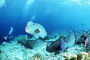 giant bumphead parrotfish, Bolbometopon muricatum, and divers, Sipadan Island, Borneo, Malaysia ( Pacific )