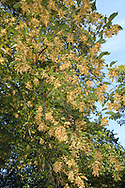 Hornbeam Carpinus betulus Betulaceae Height to 30m <br /> Robust tree; bole gnarled and twisted. Bark Silvery-grey and fissured. Branches Ascending and twisted; twigs greyish-brown, hairy. Leaves Oval, pointed with rounded base, short petiole, and double-toothed margin; 15 pairs of veins. Reproductive parts Male catkins, to 5cm long, yellowish-green with red scales. Fruits are clusters of winged nutlets. Status Locally common, sometimes planted and coppiced for hard timber.