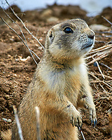 Prairie dog in the wetlands of the Arapaho National Wildlife Refuge. Image taken with a Nikon D300 camera and 80-400 mm VR lens (ISO 200, 400 mm, f/11, 1/200 sec).