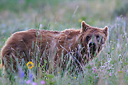 Young Grizzly Bear in Glacier National Park, Montana.