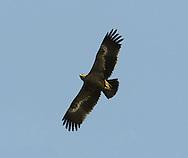 Greater Spotted Eagle - Aquila clanga