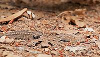 Male and female Western fence lizards, Sceloporus occidentalis. Mendocino County, California