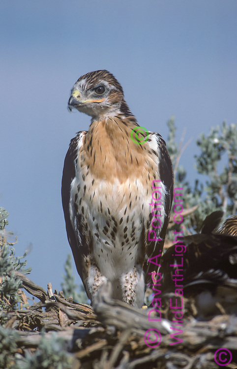 Juvenile ferruginous hawk on nest, fully grown and ready to fledge, © David A. Ponton