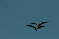 Two Magnificent Frigatebirds (Fregata magnificens) flying though the clear sky in Delta Amacuro, Venezuela.