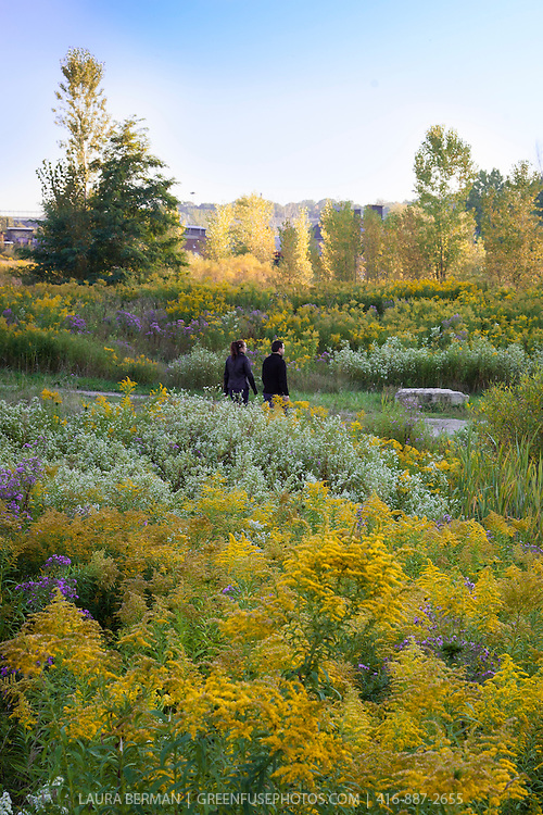 Man and woman walking in a North American native wildflower meadow filled with late summer perennials Goldenrod and asters.