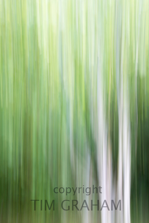 Impressions of Nature - abstract ghostly white tree trunks of trees - Silver Birches - Betula,  England