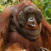 A large male Orangutan (Pongo pygmaeus) in Tanjung Puting National Park. Central Kalimantan region, Borneo.