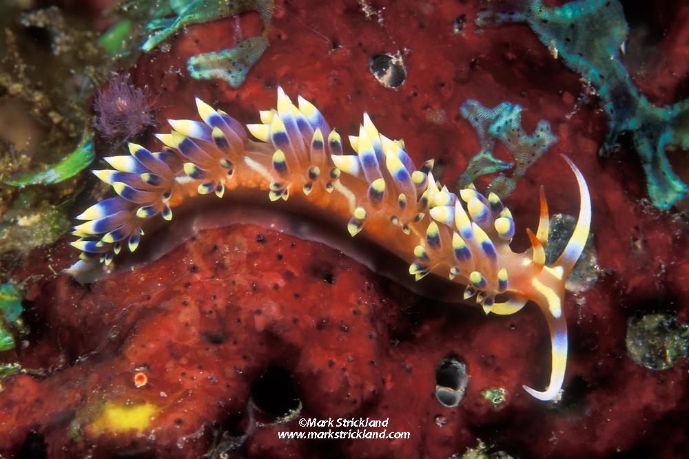 This elegant nudibranch, Caloria indica, is relatively common in the Andaman Sea. Similan Islands Marine National Park, Thailand, Andaman Sea; Indian Ocean