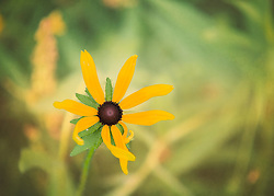 A tattered black-eyed susan with vibrant yellow petals in a field of green