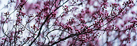The start of Spring is visible by the blossoming and colorful trees. Panoramic view of blooming trees.
