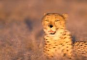 Image portrait of a cheetah (Acinonyx jubatus) gazing at the Masai Mara National Reserve, Kenya by Randy Wells