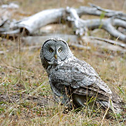 Great Gray Owl, (Strix nebulosa) individual hunting near the south entrance of Yellowstone National Park.  Fall.