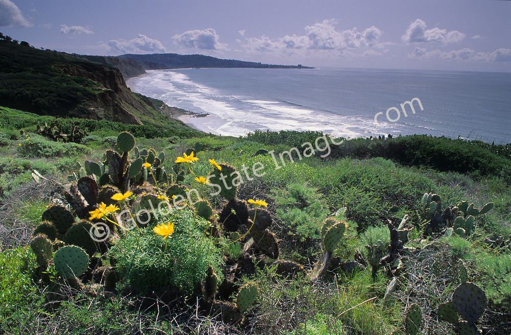 Sea Dahlia's are a perennial wildflower found along sandstone cliffs only near the ocean. <br /> <br /> Torrey Pines provides an optimal habitat and is an ideal location to spot them in the spring. <br /> <br /> Range: San Diego County, Baja California Mexico    <br />   <br /> Species: Coreopsis maritima