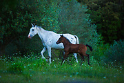White horse with its foal running in a field in the Pyranees, France June 2016.