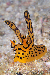 This unusual Rabbit-Ear nudibranch, Thecacera sp., was formerly known only from the Maldives, but has recently been found in Myanmar and Thailand. Mergui Archipelago, Myanmar, Andaman Sea