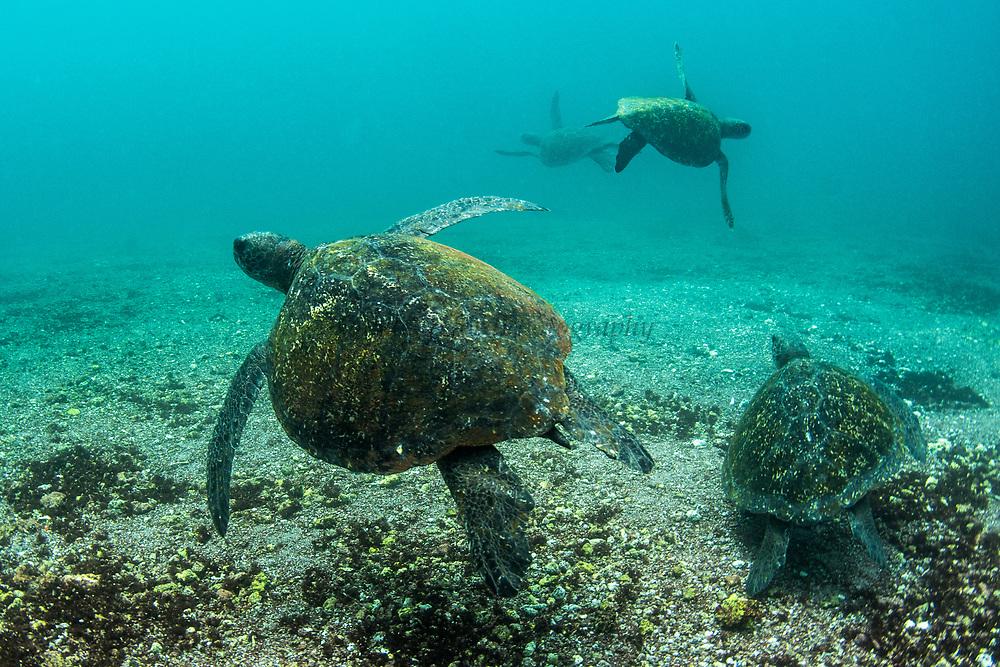 Green Turtle (Chelonia mydas agassisi)<br /> Rabida Island<br /> Galapagos<br /> Ecuador, South America