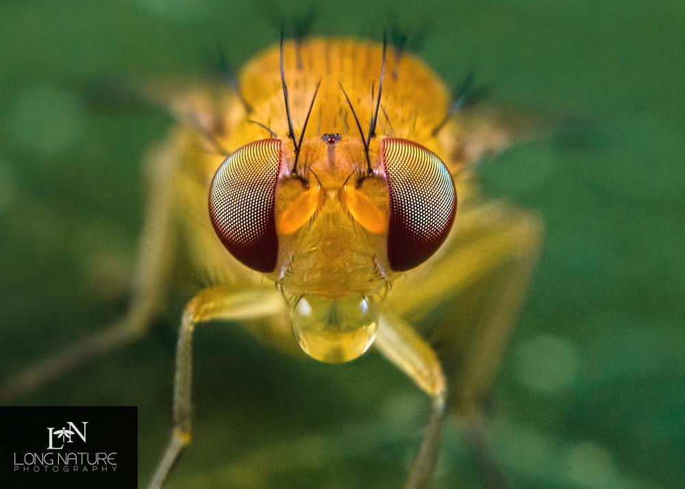 Lauxaniidae - yellow woodland fly.  Photographed in Lady Lake, Florida USA