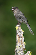 Gray Jay - Perisoreus canadensis - juvenile
