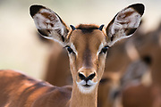 Portrait of a young male impala,  Aepyceros melampus, looking at the camera.