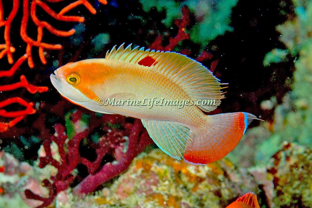Stocky Anthias inhabit reefs. Picture taken Fiji.