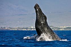 humpback whale, Megaptera novaeangliae, breaching - chin breach, Hawaii, USA, Pacific Ocean
