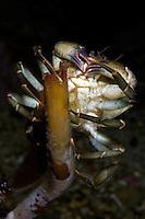 Common shore crab, Carcinus maenas, eating, Lofoten, Norway,