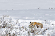 A red fox takes a late morning nap in Hayden Valley, Yellowstone