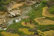 Harvesting rice near Sa Pa, Northern Vietnam