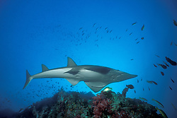 Equipped with ventrally-located mouth and gill openings, along with a sleek body and powerful tail, the Giant Guitarfish, Rynchobatus djiddensis, appears to be a missing link between sharks and rays. Richelieu Rock, Thailand, Andaman Sea