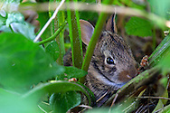 A young  Eastern Cottontail (Sylvilagus floridanus) hiding in the weeds in a backyard garden.  The adults can be approximately 44cm (17 in) long, but this little one was only about 15cm (6 in).