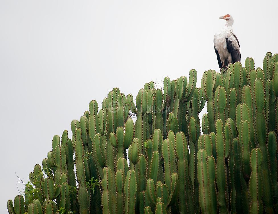 Euphorbia with Palm-nut Vulture in Queen Elizabeth National Park, Uganda.