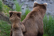 A brown bear cub looks over her mama's back along the shores of the Brooks River in Alaska