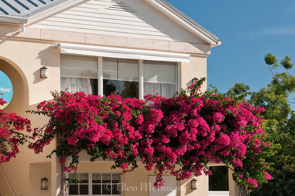Bougainvillea flowers at a spa in Providenciales, Turks & Caicos