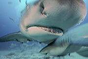 A Lemon Shark, Negaprion brevirostris, swims offshore Jupiter, Florida, USA, in Federal waters during a shark dive.
