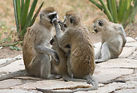 A female Black-faced Vervet Monkey, Chlorocebus pygerythrus, nurses her baby while being groomed by another female in Tarangire National Park, Tanzania