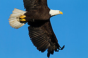 A bald eagle (Haliaeetus leucocephalus) flies against the blue sky as it returns to its nest in Heritage Park, Kirkland, Washington.
