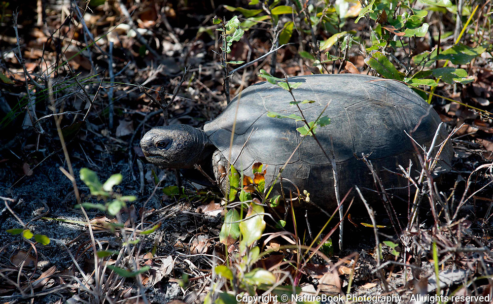 This gopher tortoise is likely headed back to its burrow at Merritt Island National Wildlife Refuge in Florida.  This is an older tortoise, as the rings on the carapace are smooth, whereas younger tortoises have more pronounced rings on the carapace.