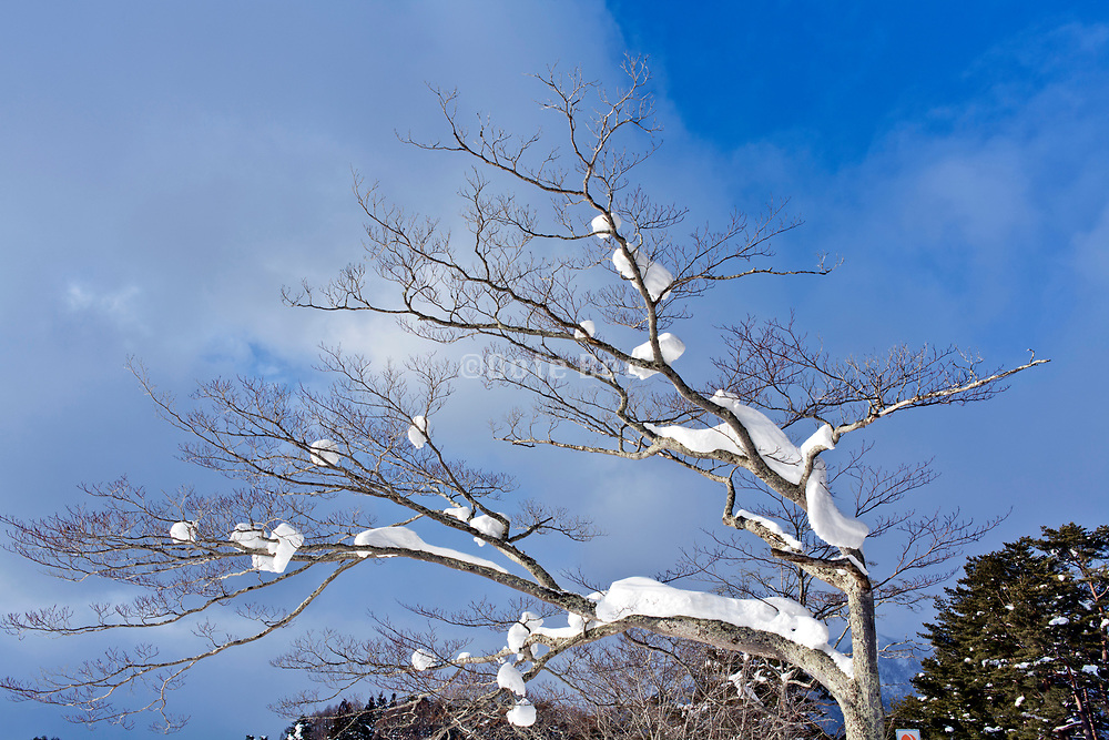 tree crown covered with snow