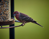 House Finch Image taken with a Nikon D5 camera and 600 mm f/4 VR telephoto lens (ISO 360, 600 mm, f/4, 1/640 sec)