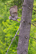 A great grey owl (Strix nebulosa) leaps from its perch to hunt in the Blue Mountains of Washington state. The great grey owl, also spelled great gray owl, is the world's largest owl by length.