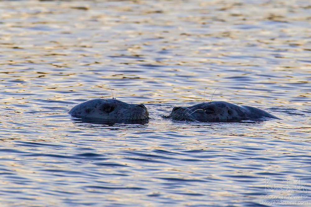 A young harbor seal pup (Phoca vitulina) swims with its mother in Puget Sound near Port Townsend, Washington.