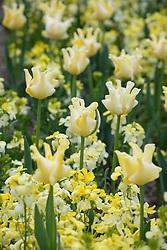 Tulipa 'Yellow Crown' with Erysimum cheiri 'Ivory White' Check i.d Label said Erysimum cheiri 'Sunset White' (Sunset Series)
