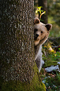 A European brown bear, Ursus arctos, looks at the camera from behind a tree.