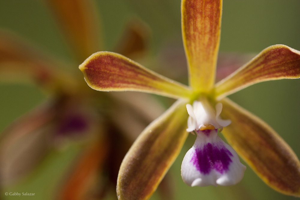 Orchid. Fakahatchee Strand Preserve State Park, Florida.